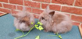 Baby dwarf lionhead bunnies