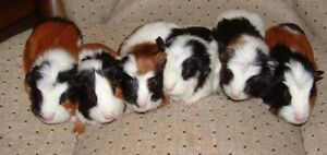 Baby Guinea Pigs - four cuties to choose from!