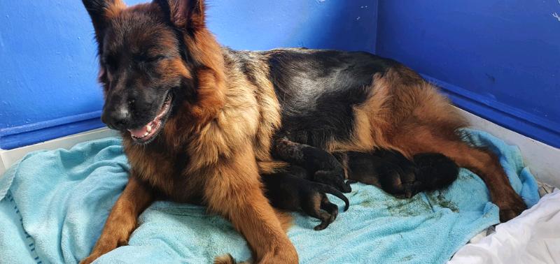 German Shepherd Puppies For Sale In Bodmin Cornwall Gumtree