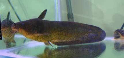 Native Eel Tailed Catfish - Tandanus tandanus - healthy female. Adelaide CBD Adelaide City Preview