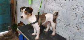 Jack Russel mix pup for sale