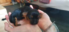 Caviler yorkie pups