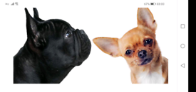 French Bull-huahua pups for sale (Registered)