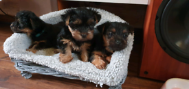 Ready on Halloween Miniature Yorkshire Terrier puppies