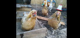 Rarest Chicken / Hens in Scotland °2020 Showbird Entrants°