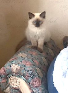 **** PURE BREED RAGDOLL KITTENS **** Available NOW!! Londonderry Penrith Area Preview