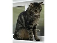 Missing for 1 week near Matthew Bank, Newcastle: Fairly skinny two-year-old shorthaired tabby