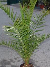 Canary palms
