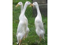 Fertile duck eggs