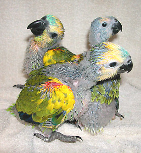 Adorable 4  Blue fronted Amazon  babies