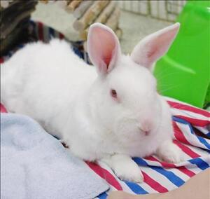 """Young Male Rabbit - New Zealand: """"Captain"""""""