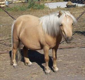 Miniature Horse Mare Palomino  ½ USA BRED TWO BLUE EYES Forest Grove Margaret River Area Preview