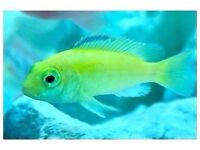 Juvenile Electric Yellow Labs Cichlid's| 1.5"