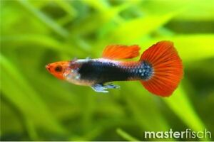 Fishes for sale - Guppy