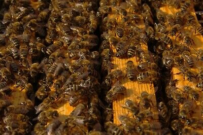 Local Pick Up Only- Combo Beehive Nuc W. Honey Bees Italian Queen 389