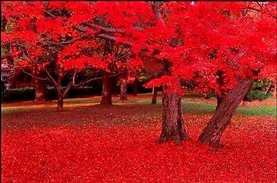25 CAROLINA RED SCARLET MAPLE Tree Acer Rubrum (Shades Tree)