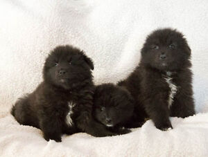 Keeshond Puppies for sale *READY TO REHOME*