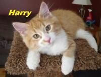 Young Male  - Domestic Medium Hair - orange and white