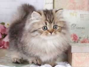 IM LOOKING TO ADOPT A VERY FLUFFY FEMALE KITTEN ,,