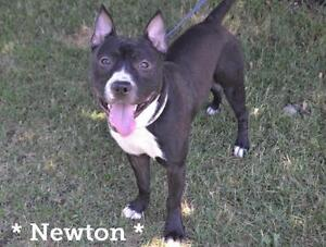 "Young Male Dog - American Staffordshire Terrier-Boxer: ""Newton"""