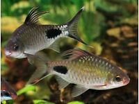 Tropical Fish Black Spotted Barbs