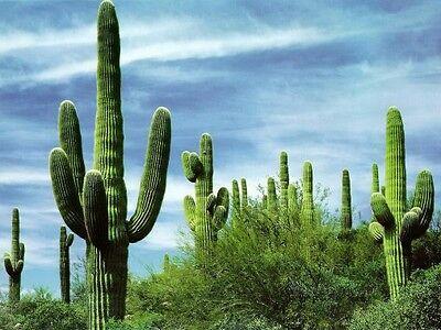 (10 GIANT SAGUARO CACTUS Carnegiea Gigantea Seeds Classic Southwestern Cacti)