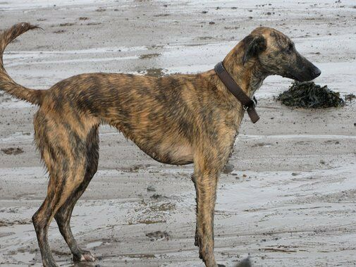 Image result for brindle lurcher