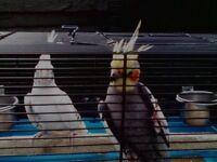Male Cockatiels