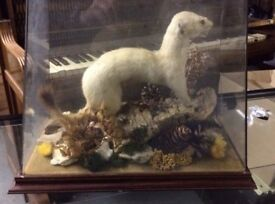 Taxidermy Stoat (Interesting Christmas Gift???) Used