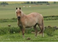 New Forest pony free to good home