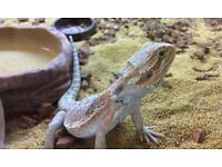 albino dragon for sale from a smoke free home