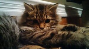 """Chelsea"" - Beautiful Long-Haired Kitten available for adoption"