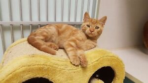 """Primrose"" - Beautiful Orange FEMALE Tabby Kitten"