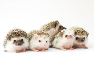 BEAUTIFUL AFRICAN PYGMY HEDGEHOG FOR SALE AT EXOTIC PETS