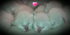 ❤MAGNIFIQUES CHATONS SIAMOIS❤PURE SIAMESE KITTENS❤