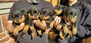 Pure bread rottweiler puppies