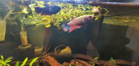 2 Adult Female Betta Fish & Juvenile Bristlenose Pleco