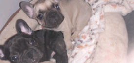 2 gorgeous french bulldog puppies available