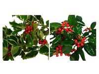 Loose Holly with Red Berries
