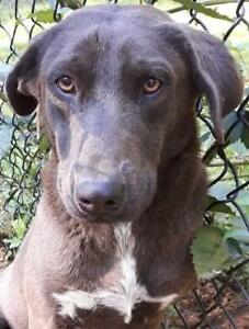 Adult Female  - Chocolate Labrador Retriever