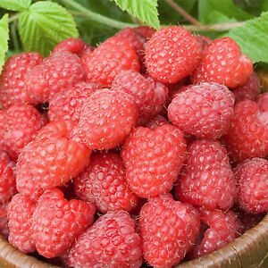 Rare Raspberry patch special. Easy to grow.