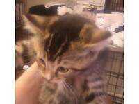 Tabby bengal cross kitten ready now