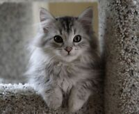 WANTED: Long-haired, male kitten.