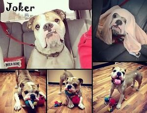 I'M JOKER, I LOVE TO PLAY , A HOME WITH A BUDDY WOULD BE GREAT