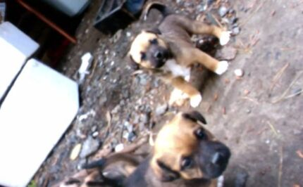 Staffy Cross Pups 3 male & 1 female. Tahmoor Wollondilly Area Preview