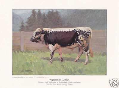 """Vogesenrind """"Greby""""  FARBDRUCK von 1925 Reprint Rinderrassen Rinder"""