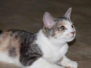 "Baby Female Cat - American Shorthair: ""ZZ: Pippa"" London Ontario image 1"
