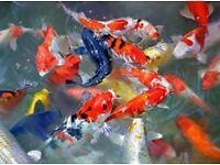 "25x Grade A Koi 2-3"" for sale Live Pond Fish"