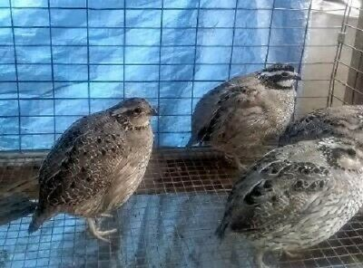50 SUPERIOR YIELD NORTHERN BOBWHITE Quail Eggs hatching fertile conservation