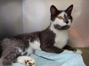 Adult Male  - Domestic Short Hair - gray and white